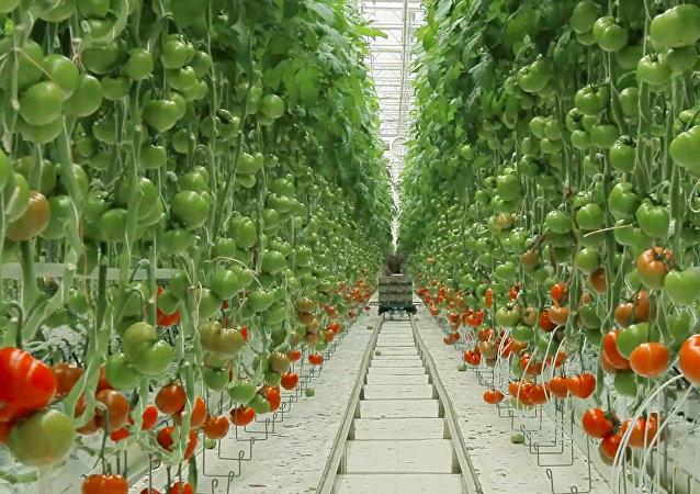 Životní cyklus rajčete: od semínka k plodu
