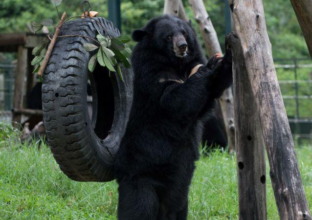 Medvěd himálajský