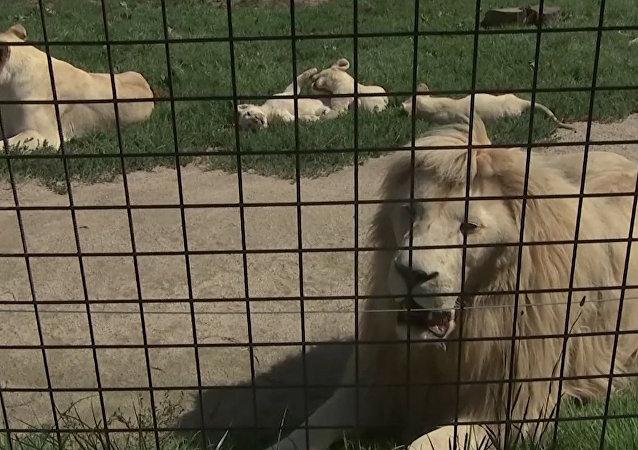 V České ZOO Borovany se narodilo pět bílých lvů najednou