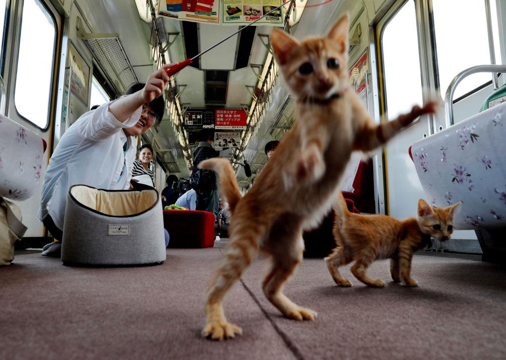 Cestující si hrají s koťaty v jídelním voze speciálního vlaku pro kočky v Ogaki, Japonsko