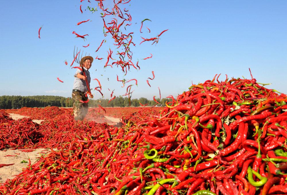Sušení červených chilli papriček v čínské vesnici Čang-jie