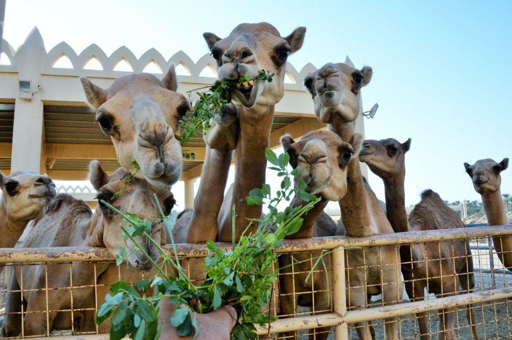 Královská velbloudí farma v Bahrajnu