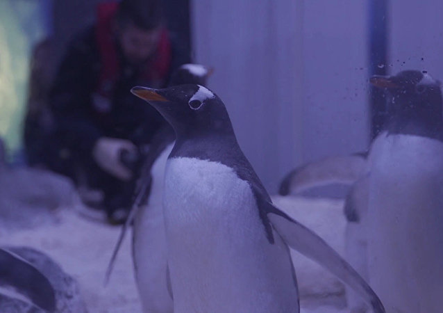 Závody pod vodou: nejrychlejší tučňáci na světě