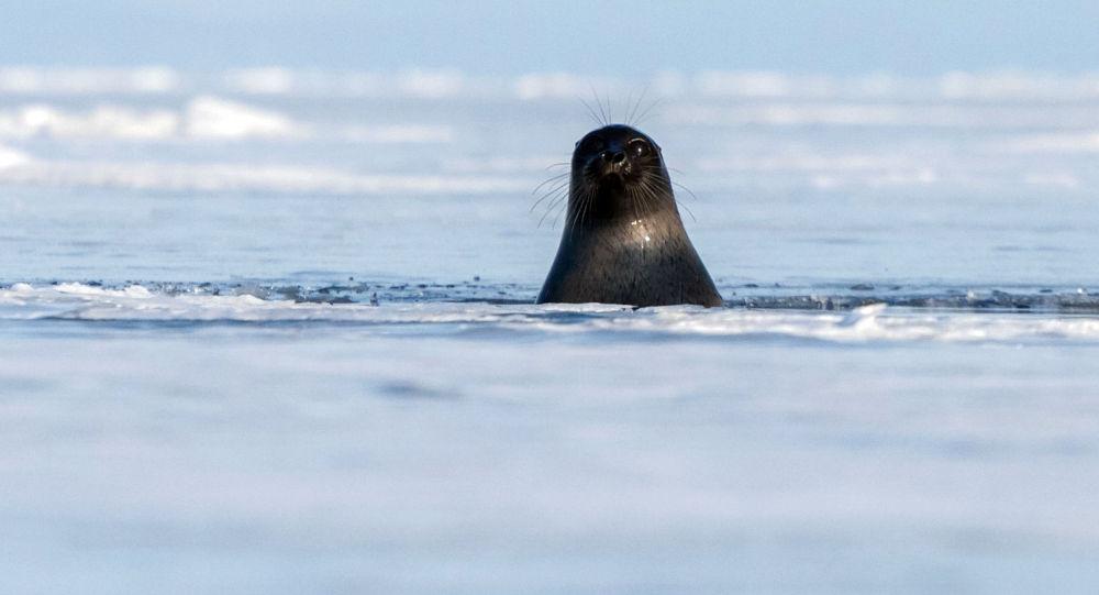 Bajkalský tuleň