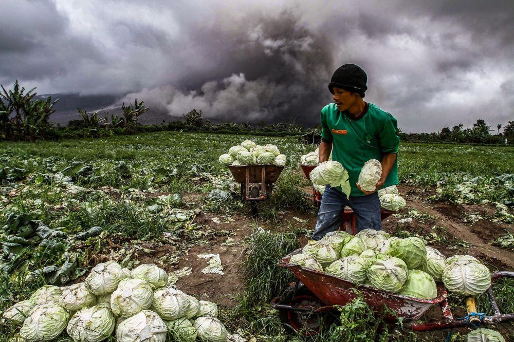 Indonéský farmář sklízí zelí během erupce sopky Sinabung