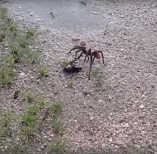 Na internetu se objevilo video zuřivé bitky tarantule a hrabalky