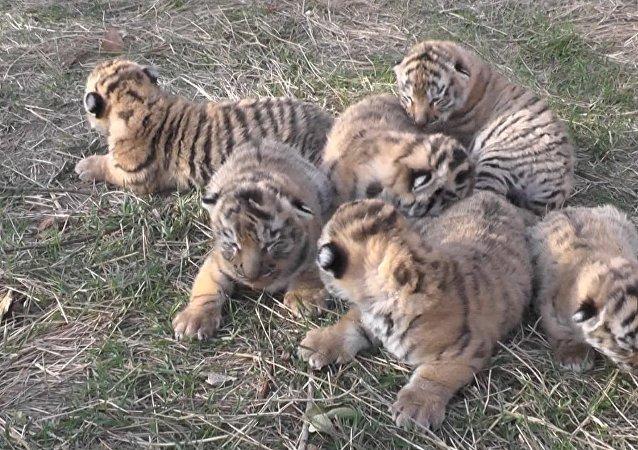 V krymském safari se narodila čtyři tygří mláďata