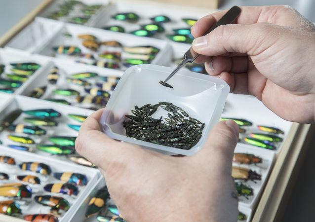 Smaragdové zlatky (Agrilus planipennis) v laboratoři