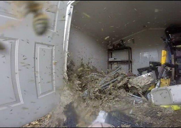 Likvidaci obrovského sršního hnízda