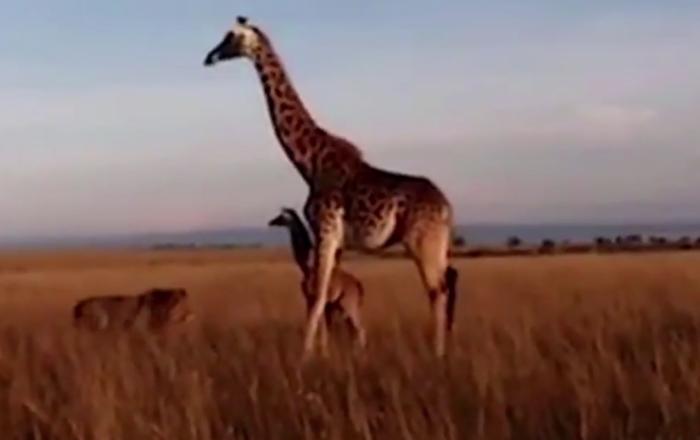 web žirafy