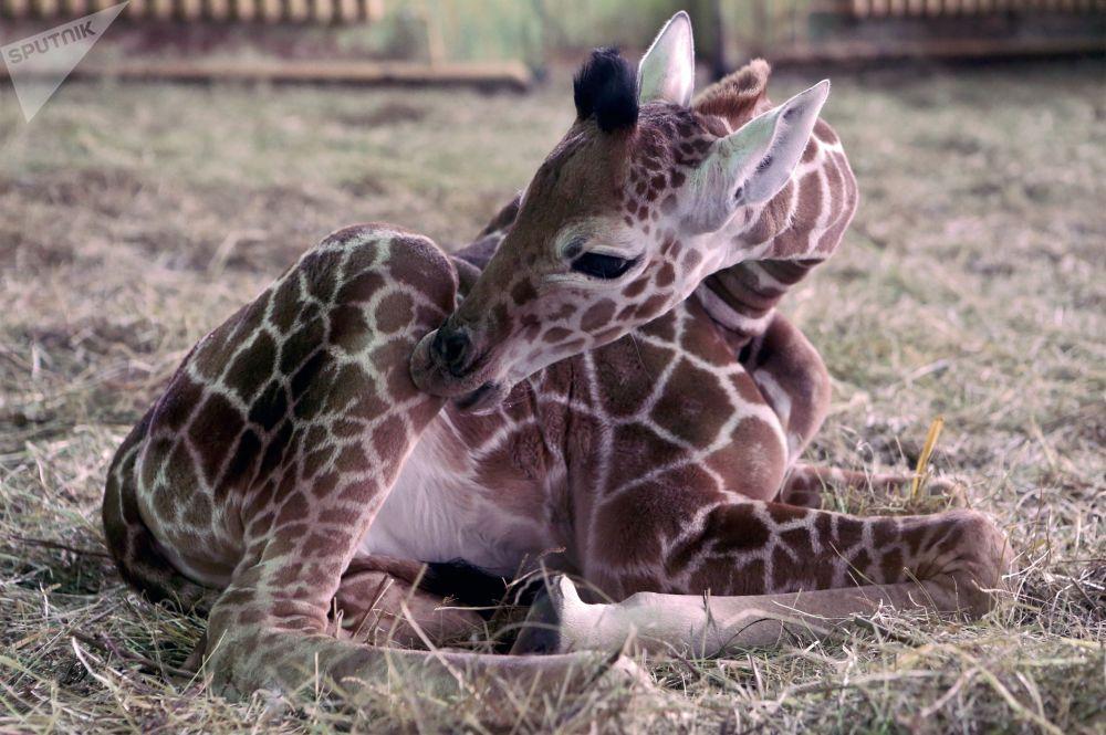 Maličká žirafa v Kaliningradské zoo