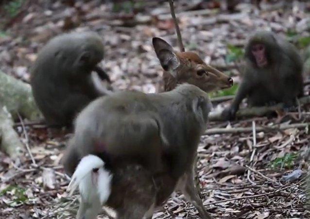 Neobyčejný sexuální styk: Makak červenolící kopuluje v Japonsku s jelenem. Video