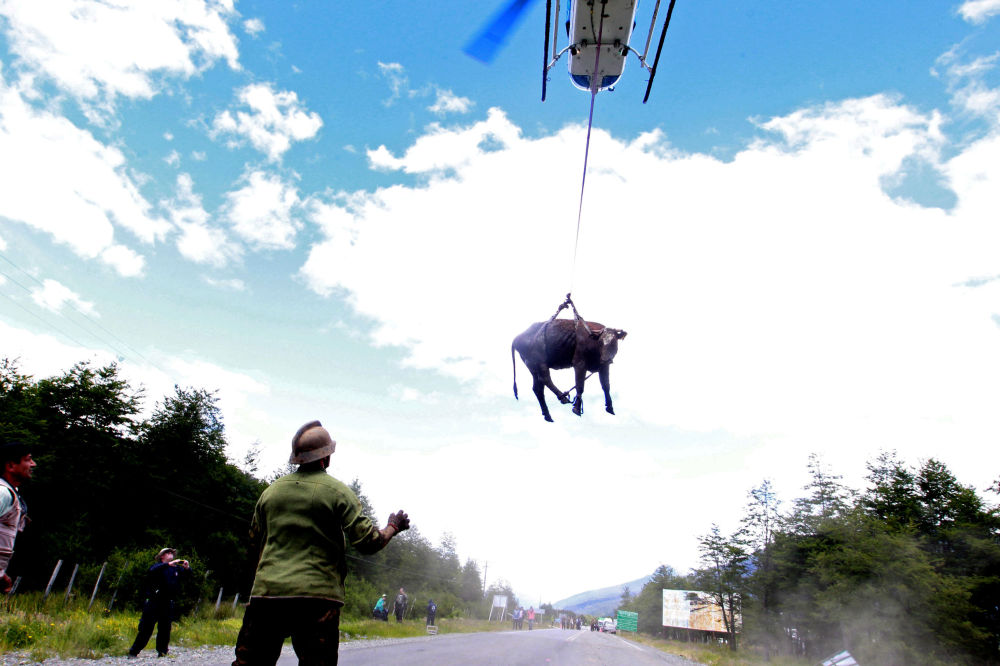 Přeprava krávy z chilské vesnice Santa Lucia, která byla zasažena sesuvem půdy