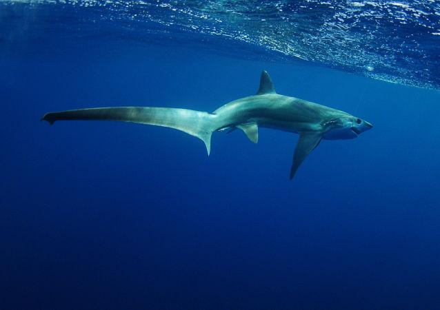 Žralok liščí