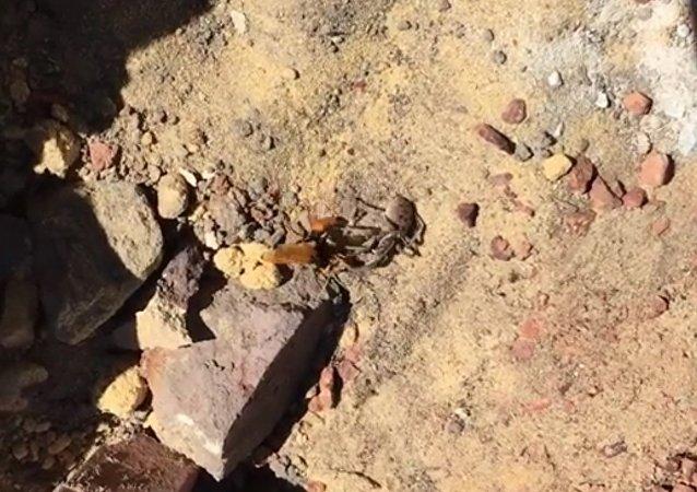Smrtelné střetnutí sršně a pavouka se dostala na video