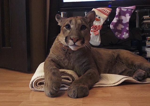 Puma z Penzy