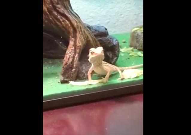 Mávající ještěrka říká ahoj