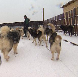 """V """"ruzské Aljašce"""" dostali toulaví psi druhou šanci. Video"""