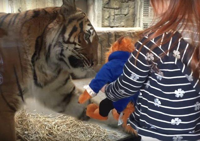Tygr v americké zoo se pokusil ukrást děvčeti hračku