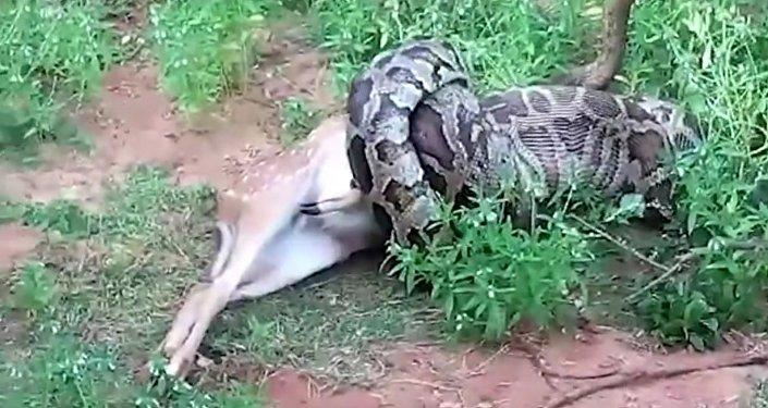 Čtyřmetrová krajta před očima turistů spolkla jelena