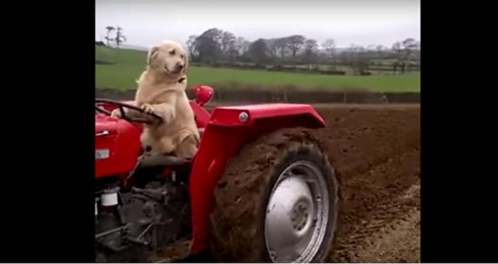 Zlatý retrívr se prohání na traktoru a kosí trávu (VIDEO)