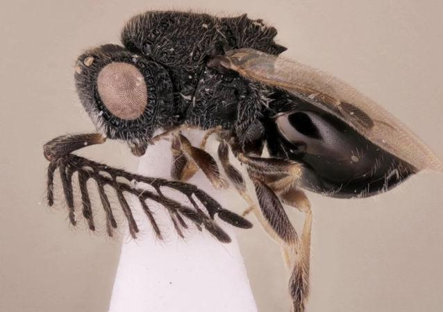 Новый вид паразитической осы, который ученые сравнили с Фредди Крюгером
