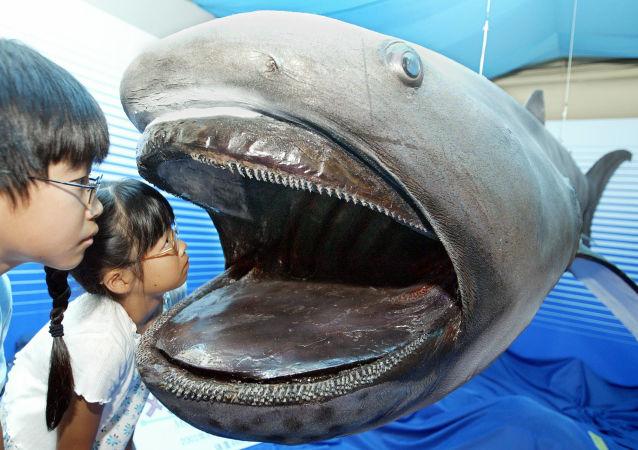 Vycpaný žralok velkoústý