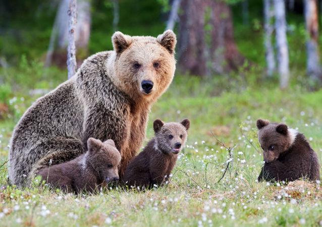 Medvědice s medvíďaty v Tajze. Ilustrační foto