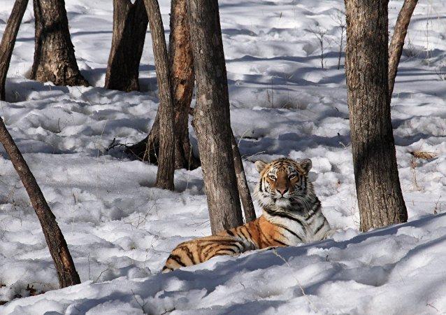 Amurská tygřice. Ilustrační foto