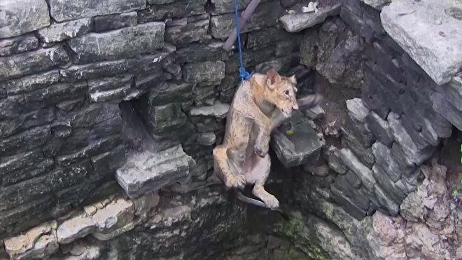 Záchrana lvice ve vesnici Amrapur