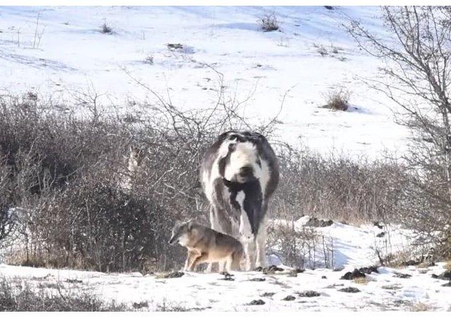 Odvážný kůň vyděsil vlky