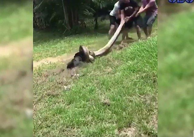 Vesničané zachránili psa, kterého anakonda táhla do vody