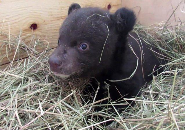 Ve Vladivostoku veterináři dostávají z nejhoršího himálajské medvídě
