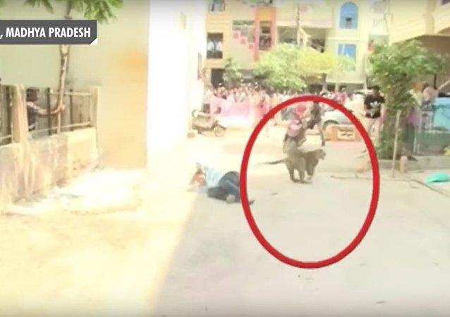 V Indii leopard zabloudil do města a začal útočit na lidi