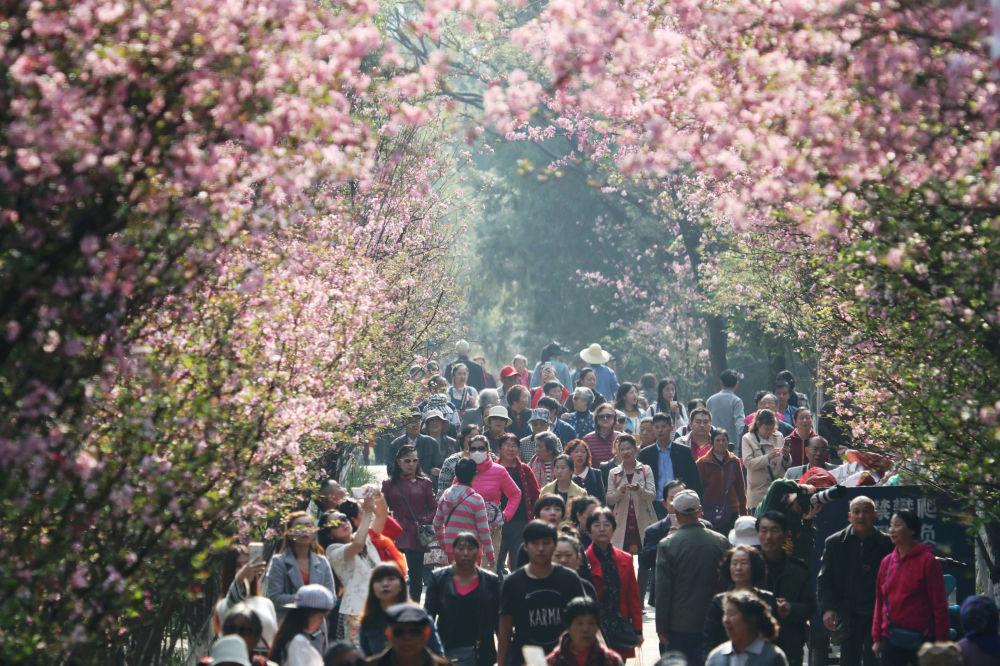 Lidé kráčí pod kvetoucí sakurou v městě Kchun-ming, provincie Jün-nan v jihozápadní Číně, 7. března 2018