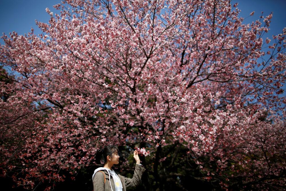 Návštěvnici Národního parku Shinjuku Gyoen obdivují kvetoucí sakuru, 14. března 2018