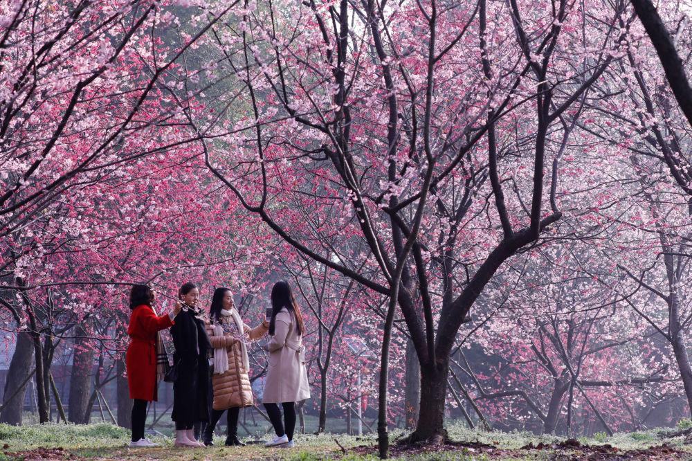 Květoucí sakura v Národním parku města Wuhan v Číně, provincie Hubei, 9. března 2018