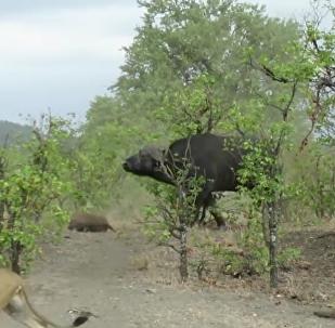 Buvolí samice odehnala lvy od těla svého mrtvého mláděte (VIDEO)