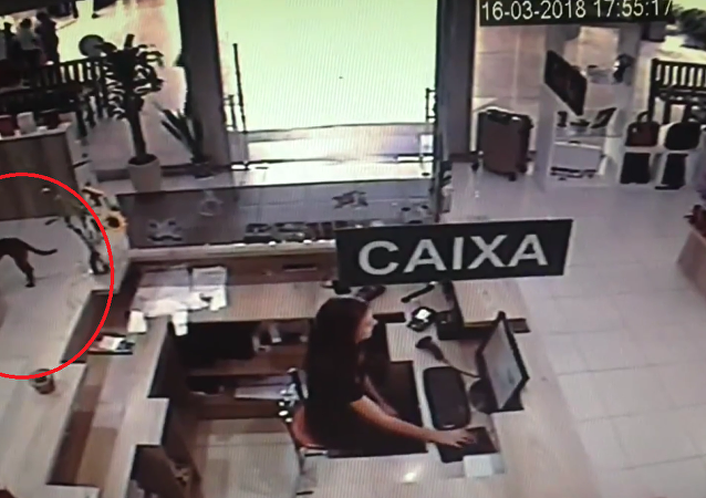 Pes zloděj v Brazílii