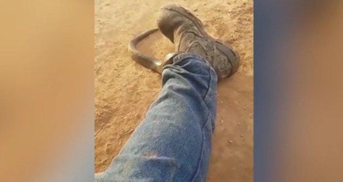 Australanovi se do kalhot vplížil smrtelně jedovatý had