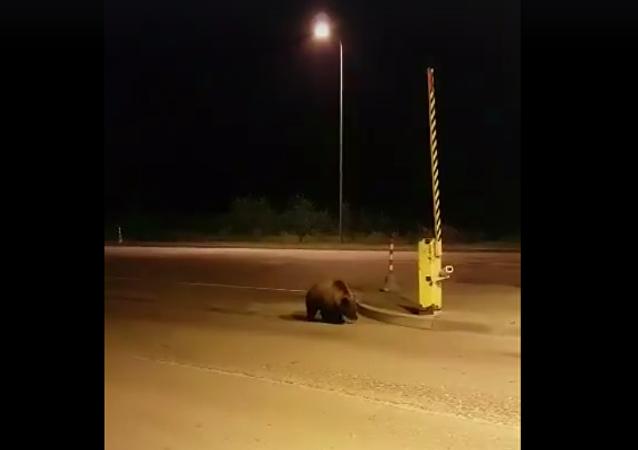 Medvěd zboural ohradu na lotyšské hranici, aby odešel do Ruska