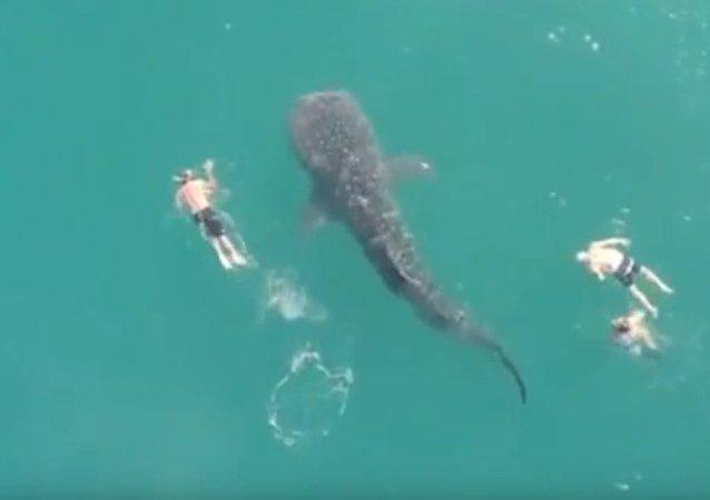Největší žralok na světě byl natočen na video vedle koupajících se lidí (VIDEO)