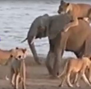 Tři proti jednomu: boj slůněte se smečkou lvů byl natočen na video