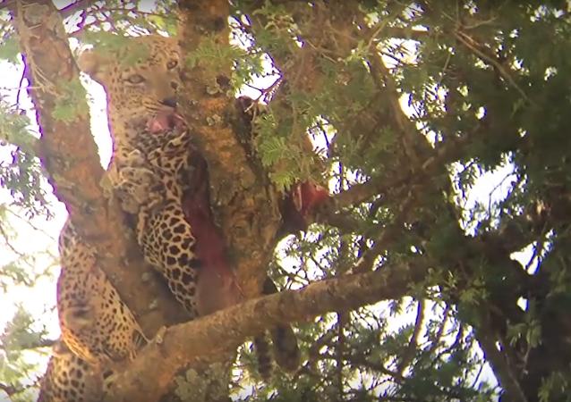 Turista si všiml leoparda, který něco žral, a zděsil se (VIDEO)