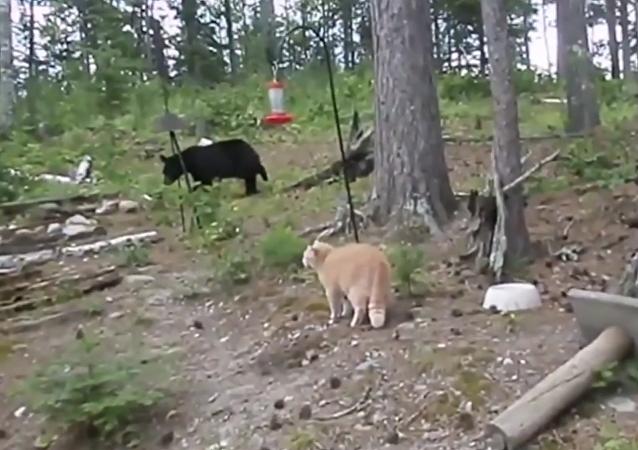 Drzý bláznivý kocour honí vylekaného medvěda