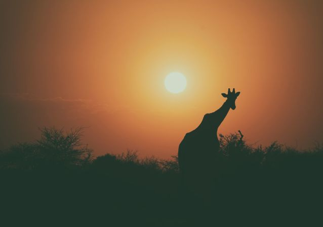 Žirafa při západu slunce