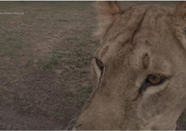Sama sobě režisérka. V Keni lvice filmové skupině ukradla kameru