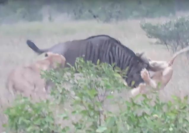 """""""Prostě zvíře"""": Antilopa se utkala se dvěma lvicemi"""