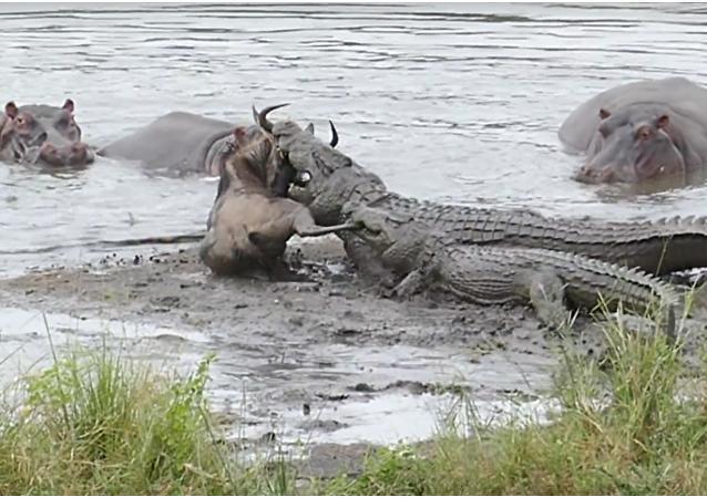 Hroši zachránili pakoně před krokodýly