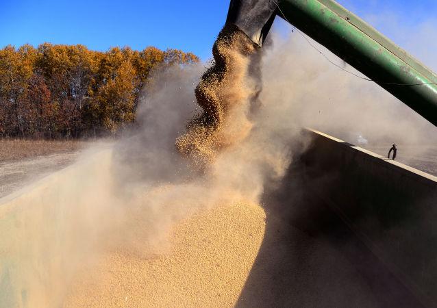 Sklizeň sóji v Rusku